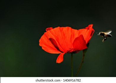 poppies love beautiful natural polen aryan honey flowers
