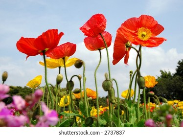 Poppies from low angle