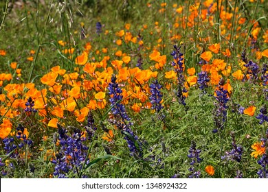 Poppies and Lupine wildflowers bloom in a colorful display