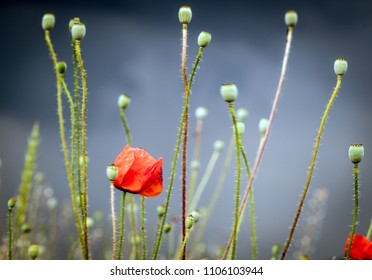 poppies in the meadow before the storm