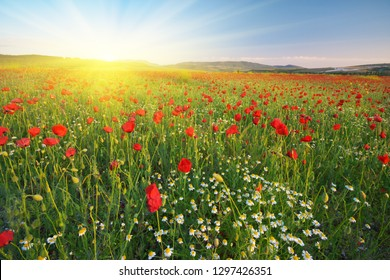 Poppies meadow and spring landscape. Nature composition.