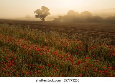 Poppies in mist