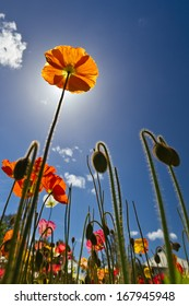 Poppies on a blue sky