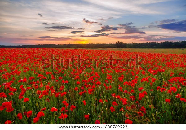 Poppies on green field on summer sunset