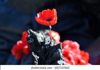 Poppies on a rock at the Australian War Memorial in Canberra. The red poppy has become a symbol of war remembrance (ANZAC Day) the world over.