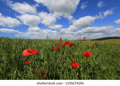 Poppies on the South Downs near Telscombe, Sussex, UK