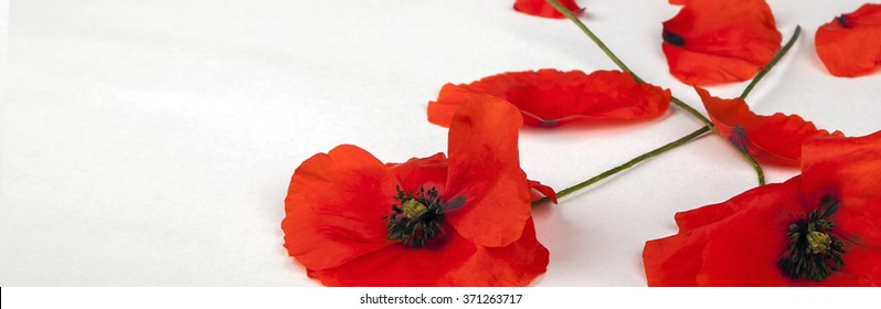 Poppies - for Remembrance Day - Isolated on White. Flower panorama / banner / header  background texture with plenty of text / copy space.