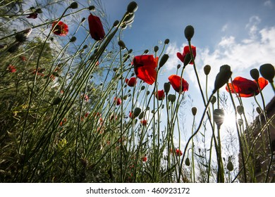 Poppies sky and sun