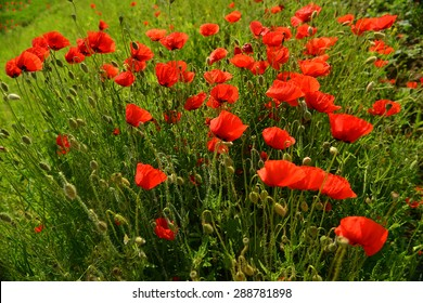 poppies, sumer flower