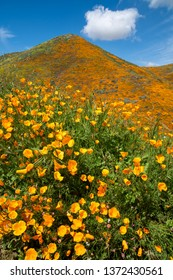 Poppies in super bloom at Walker Canyon in Southern California. Portrait view