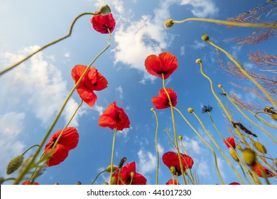 poppies turning to the blue sky