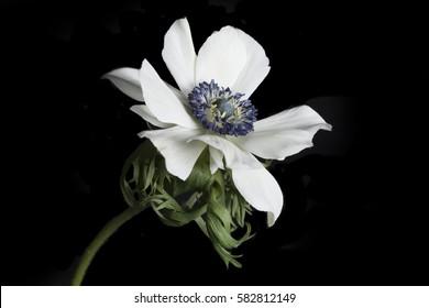 Poppy anemones (Anemone Coronaria) on black background