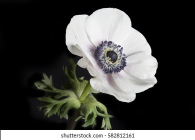 Poppy anemones (Anemone Coronaria) on black background