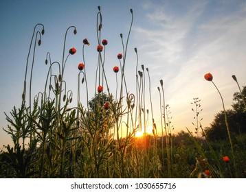 poppy background light sunrise grass