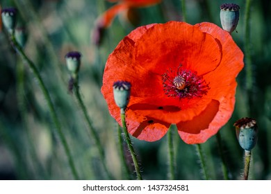 Poppy in the beauty of nature