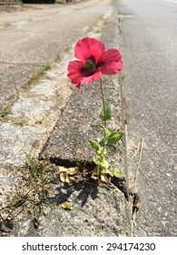 Poppy between curbs