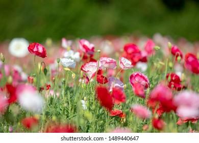 poppy blossom in the Netherlands