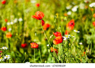 Poppy and camomile flowers