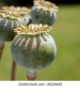 Poppy Capsules 3