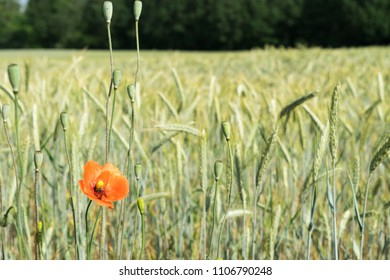 poppy and cereal field