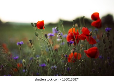 Poppy and cornflowers in sunset light in summer meadow, selective focus. Atmospheric beautiful moment. Wildflowers in warm light, flowers close up in countryside. Rural simple life