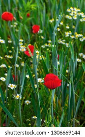 poppy and daisy flowers in the field. beautiful nature background. view from the top