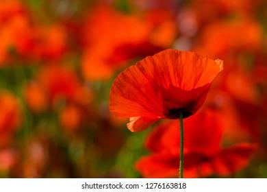 Poppy Images Stock Photos Vectors Shutterstock
