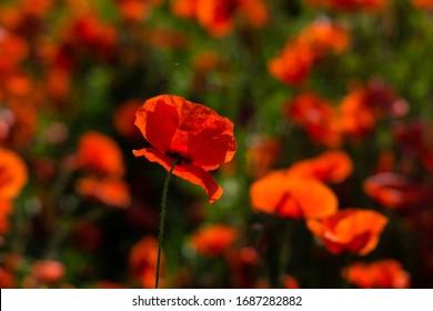 poppy field at back lit