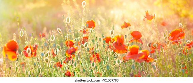 Poppy Field Background. Summer Sunshine Effects. Nature Background. Red Flowers. Banner
