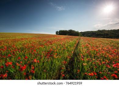 Poppy field background wallpaper