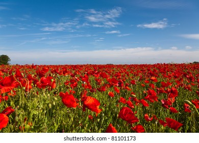 Poppy Field with a Beautiful Blue Sky