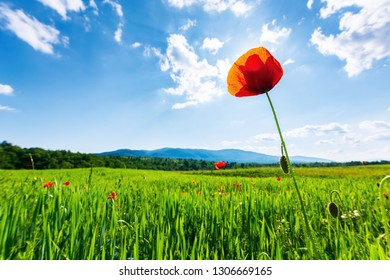 poppy in the field. beautiful countryside scenery in mountains. sunny day in the late spring. fluffy clouds on the sky. sun behind the flower. blurred natural background.
