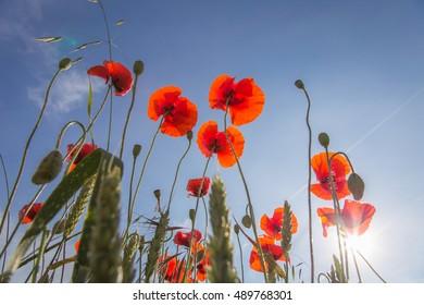 Poppy field from below horizontal