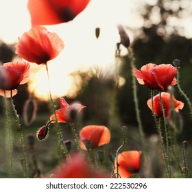 Poppy Field Blooming Evening Sunset Background