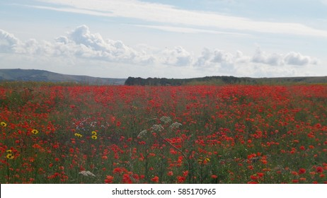 Poppy field and blue cloudy sky