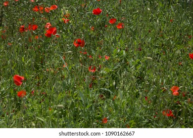 The poppy field in Crete Greece, may, spring, green grass with blooming flowers.
