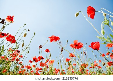 Poppy field. Cultivated Land.
