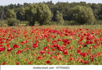 Poppy field in Flanders