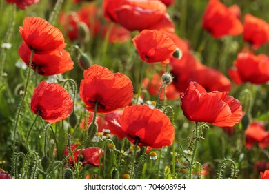 Poppy field with flowering Red poppies (Papaver rhoeas, Flanders poppy) against the light.