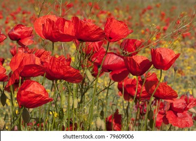 Poppy field with flowering red poppies (Papaver rhoeas) and canola