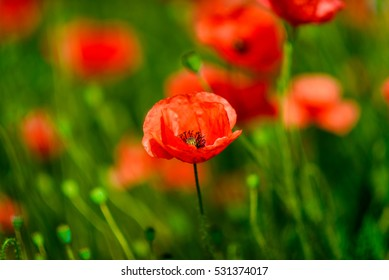 poppy field with front poppy in focus