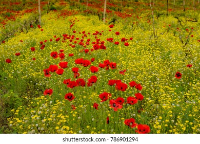 Poppy field in Georgia