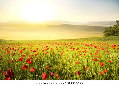 poppy field in the mountains at sunrise