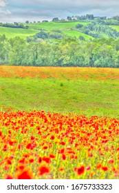poppy field near Cortona Italy