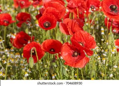 Poppy field with red poppy flowers (Papaver rhoeas, flanders poppy)