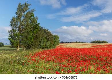 Poppy field with red poppies (Papaver rhoeas, flanders poppy) and German chamomile (Matricaria chamomilla) near Heiligenhafen in Schleswig-Holstein, Germany