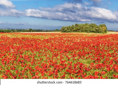 Poppy field with red poppies (Papaver rhoeas, flanders poppy)  near Heiligenhafen in Schleswig-Holstein, Germany