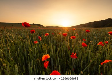 Poppy field sunset, twilight