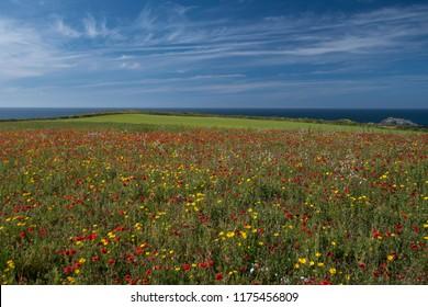 Poppy Field in West Pentire, Cornwall