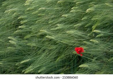 A Poppy in a field of wheat